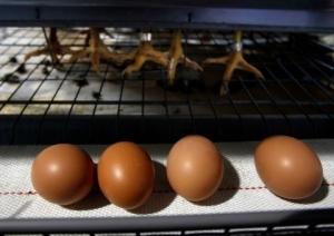 Ethical eggs