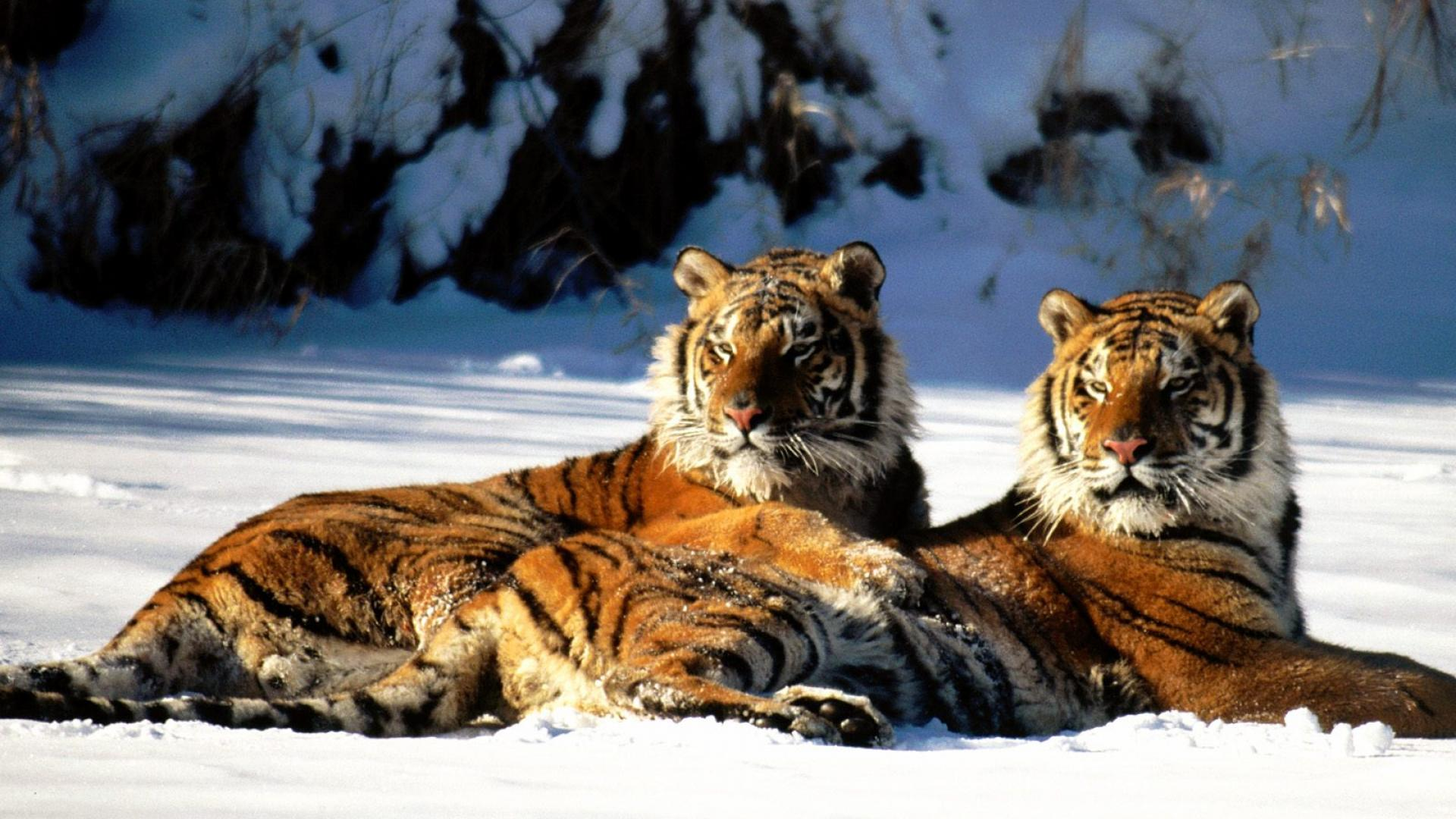 bikin: a russian amazon to save the amur tiger – inspir'action