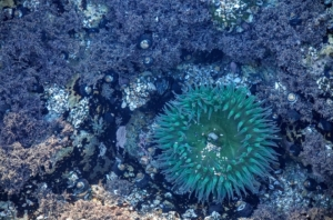 sea-anemone-1209209_960_720