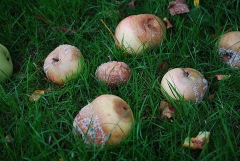 rotten apples-3